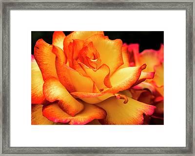 Festive Rose Framed Print by Jean Noren