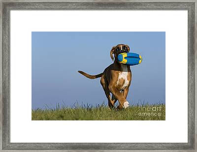 Fetching Boxer Puppy Framed Print by Jean-Louis Klein & Marie-Luce Hubert