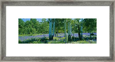 Field Of Lupine And Aspen Trees Framed Print by Panoramic Images