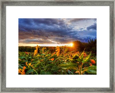 Field Of Sunflowers At Sunset Framed Print by Joann Vitali
