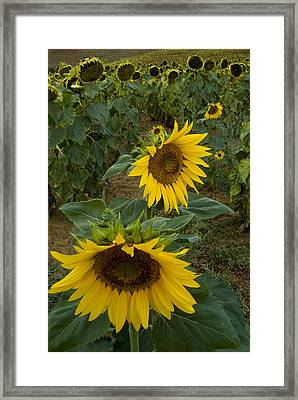 Field Of Sunflowers In Tuscany Framed Print by Todd Gipstein