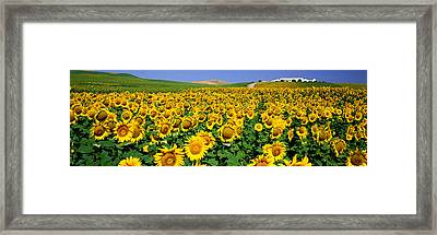 Field Of Sunflowers Near Cordoba Framed Print by Panoramic Images