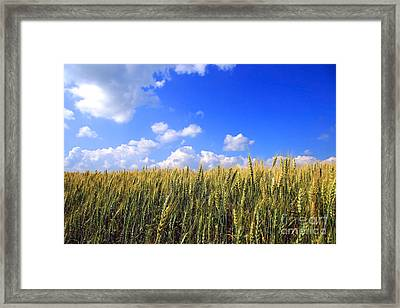 Field Of Wheat  Framed Print by Sandra Cunningham