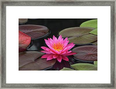 Fiery Beauty Of A Waterlily Framed Print by Byron Varvarigos
