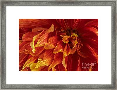 Fiery Dahlia Framed Print by Chris Scroggins