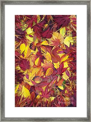 Fiery Autumnal Foliage Framed Print by Tim Gainey