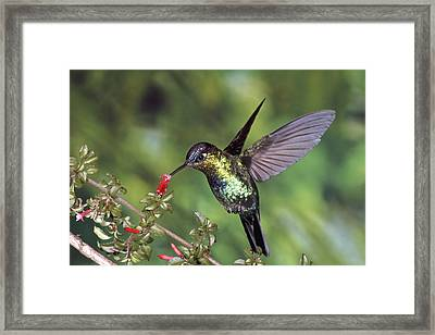 Fiery-throated Hummingbird Panterpe Framed Print by Michael & Patricia Fogden