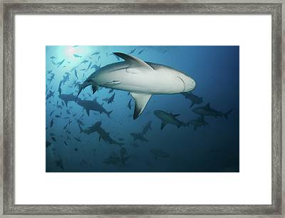 Fiji Sharks Framed Print by Nature, underwater and art photos. www.Narchuk.com