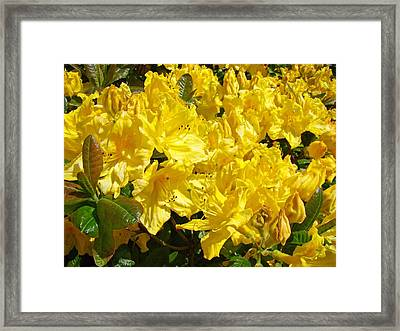 Fine Art Prints Yellow Rhodies Floral Garden Baslee Troutman Framed Print by Baslee Troutman