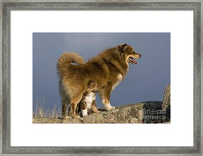 Finnish Lapphund And Pup Framed Print by Jean-Louis Klein & Marie-Luce Hubert