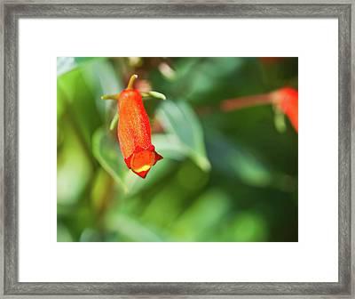 Firecracker Blossom Framed Print by Douglas Barnett