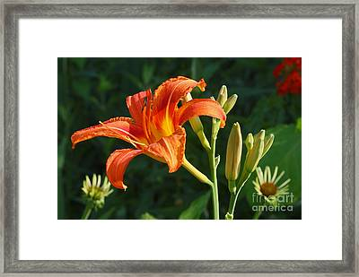 First Flower On This Lily Plant Framed Print by Steve Augustin
