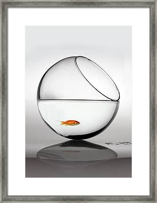 Fish In Fish Bowl Stressed In Danger Framed Print by Paul Strowger