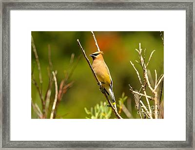 Fishercap Cedar Waxwing Framed Print by Adam Jewell