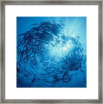Fishes Swarm Underwater Framed Print by Panoramic Images