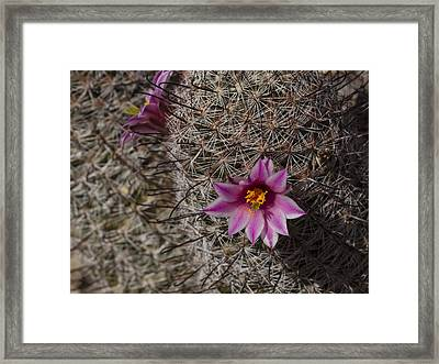 Fishhook Cactus With Flower Framed Print by Jean Noren