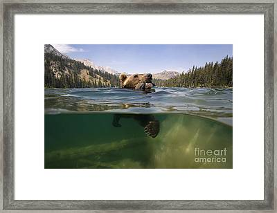 Fishing Grizzly Framed Print by Jean-Louis Klein & Marie-Luce Hubert