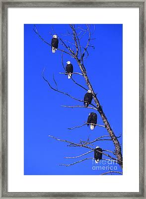 Five Bald Eagles Framed Print by John Hyde - Printscapes