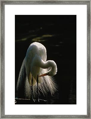 Flamboyant Plumes Mark The Breeding Framed Print by Farrell Grehan
