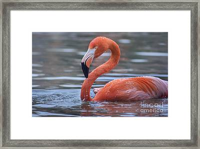 Flamingo And Water Drops Framed Print by Rima Biswas