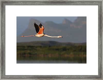 Flamingo Flight Framed Print by Basie Van Zyl