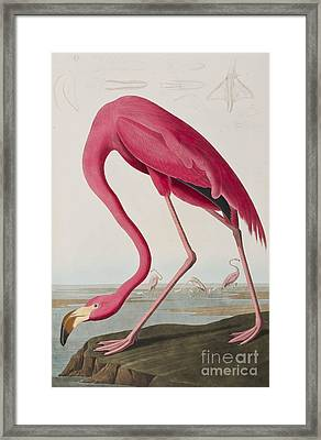 Flamingo Framed Print by John James Audubon
