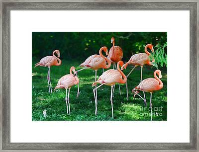 Flamingo Framed Print by Paul Ward