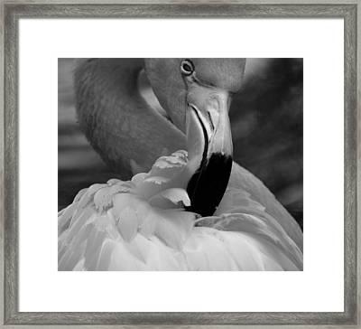 Flamingo Preening 2 Framed Print by Janal Koenig
