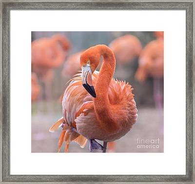 Flamingo, The Orange Beauty Framed Print by Rima Biswas