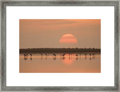Flamingos At Sunrise Framed Print by Joan Gil Raga