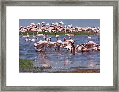 Flamingos, Lake Nakuru, Kenya Framed Print by Aidan Moran