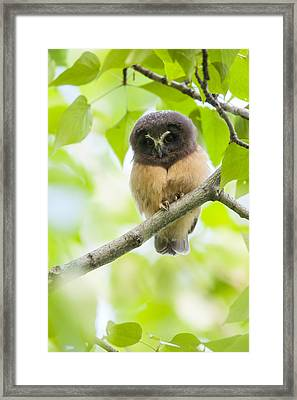 Fledgling Saw-whet Owl Framed Print by Tim Grams