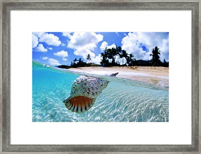 Floating Conch Shell Framed Print by Sean Davey