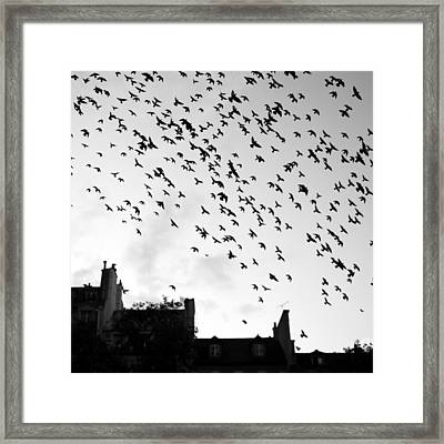 Flock Of Bird Flying Framed Print by Miles Lau