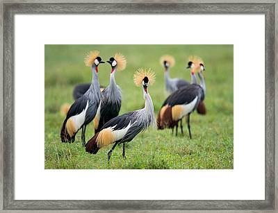 Flock Of Grey Crowned Cranes Balearica Framed Print by Panoramic Images