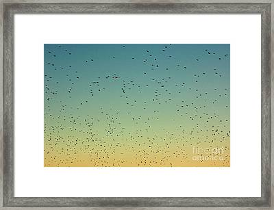 Flock Of Swallows Flying Together At Sunset Framed Print by Sami Sarkis