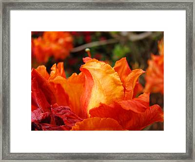 Floral Art Prints Orange Rhodies Rhododendrons Baslee Troutman Framed Print by Baslee Troutman