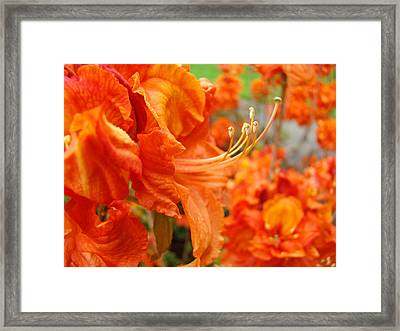 Floral Garden Art Prints Orange Rhododendrons Baslee Troutman Framed Print by Baslee Troutman