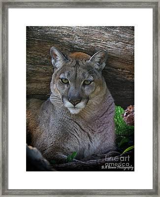 Florida Panther Framed Print by Barbara Bowen