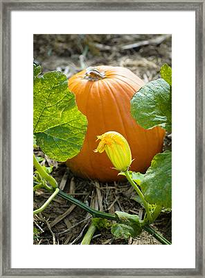 Flower In A Pumpkin Patch Framed Print by Christi Kraft