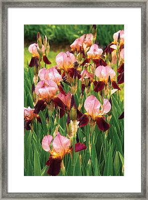 Flower - Iris - Gy Morrison Framed Print by Mike Savad