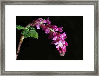 Pink Chaparral Currant, Ribes Malvaceum Framed Print by Alessandra RC