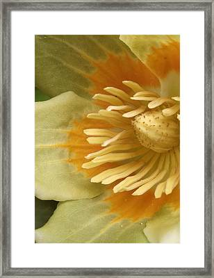 Flower Of Tulip Tree - Close Up Framed Print by Elena Pronina