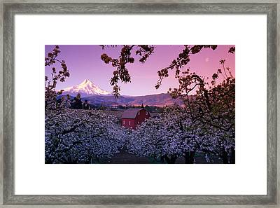Flowering Apple Trees, Distant Barn Framed Print by Panoramic Images