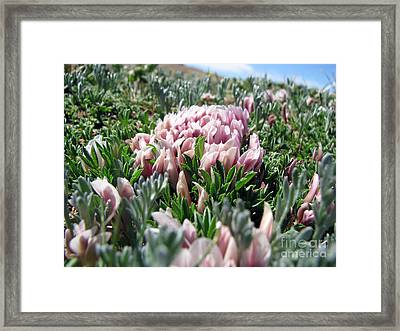 Flowers In The Alpine Tundra Framed Print by Amanda Barcon