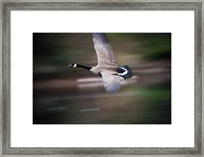 Fly Bird Fly Framed Print by Alicia Collins
