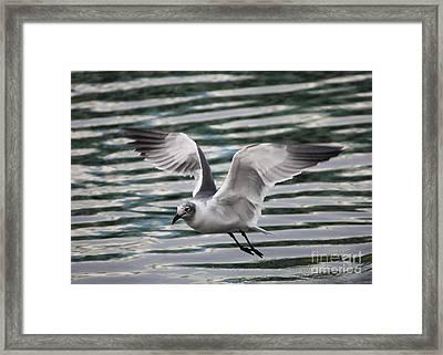 Flying Seagull Framed Print by Carol Groenen