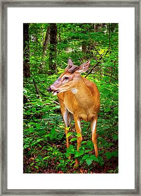 Foraging Deer Framed Print by Carolyn Derstine
