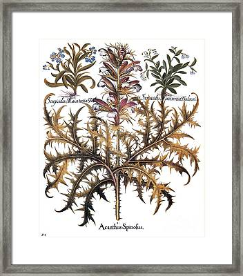 Forget-me-not & Acanthus Framed Print by Granger