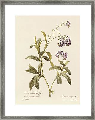 Forget Me Not Framed Print by Pierre Joseph Redoute
